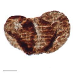 Fossilized pollen grain